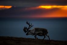 Copyright: Roy Mangersnes - wildphoto.no / www.nordnorge.com / Longyearbyen