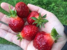 Die besten Erdbeeren wachsen in Valldal