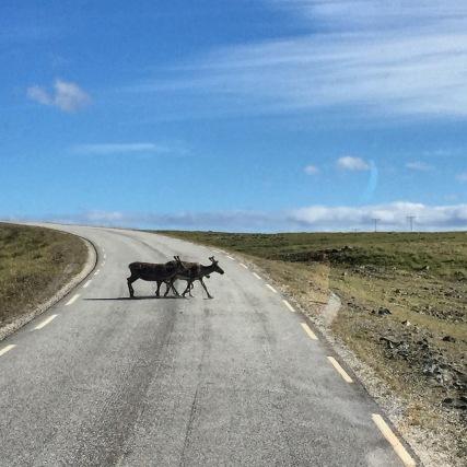 Rentiere kreuzen auf der Nordkappinsel Magerøya